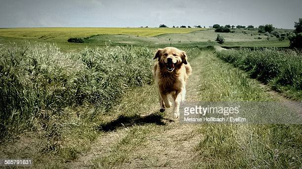 dog running on pathway - rushing the field stock pictures, royalty-free photos & images