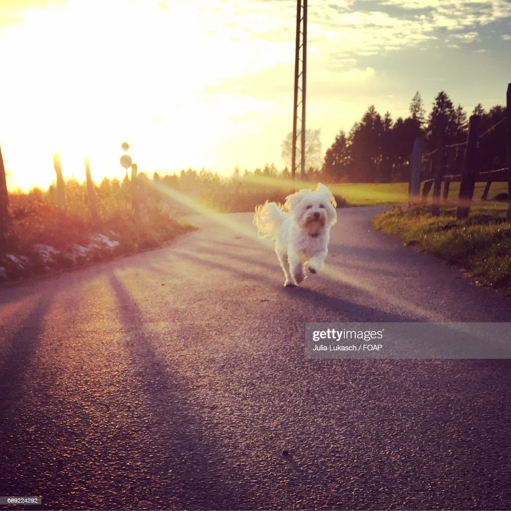 Dog running on road with sunlight : Stock Photo