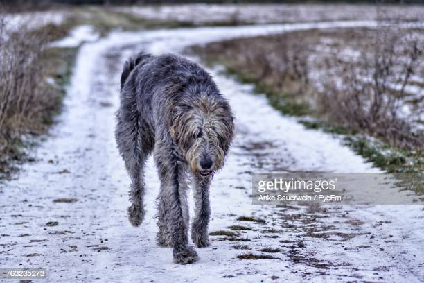 Dog Running On Snow Covered Road