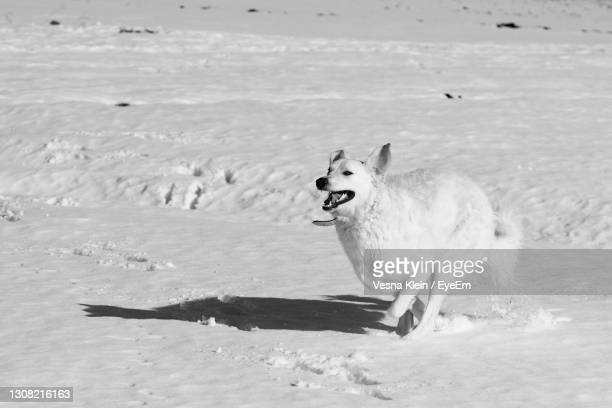 dog running on snow - klein stock pictures, royalty-free photos & images