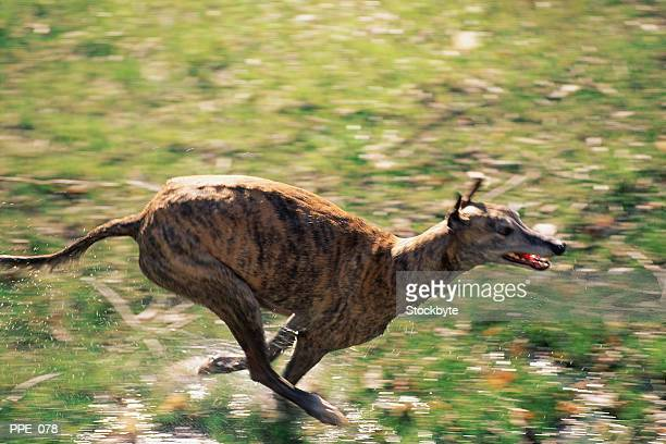 dog running outside - greyhound stock photos and pictures
