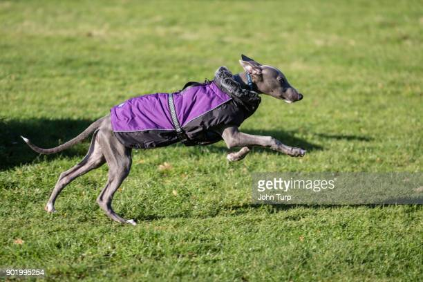 whippet running parkland kitted out purple