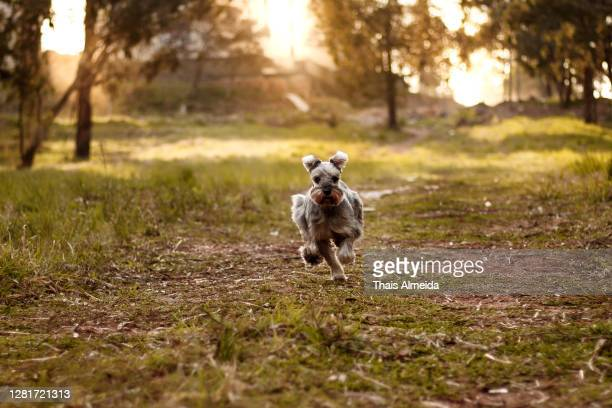 dog running - schnauzer stock pictures, royalty-free photos & images