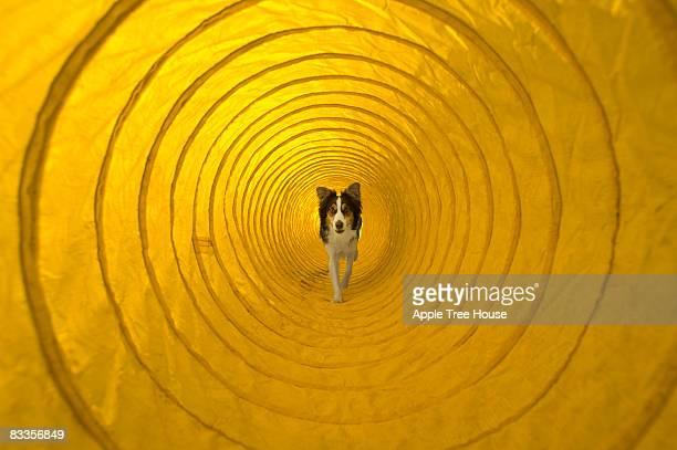Hund Laufen durch Agilität tunnel