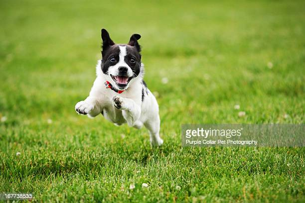 dog running through grass - gras stock pictures, royalty-free photos & images