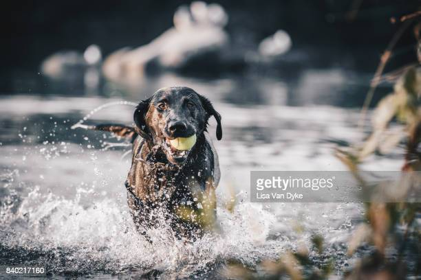 dog running through water on lake - labrador preto imagens e fotografias de stock