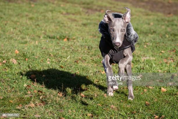whippet running head towards camera point