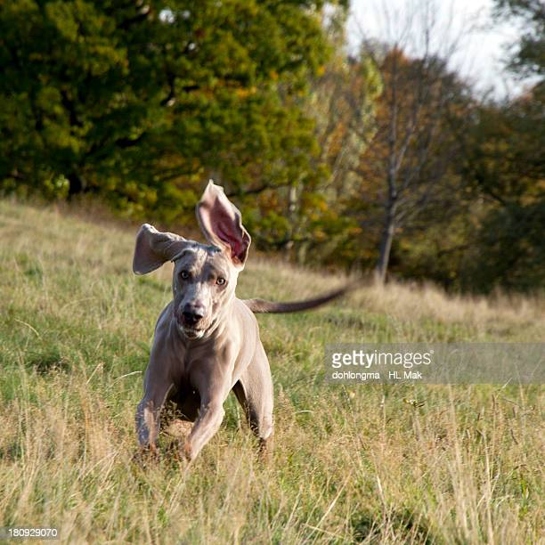 Dog running up to the camera