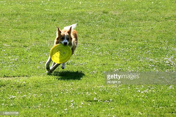 Dog running with disk