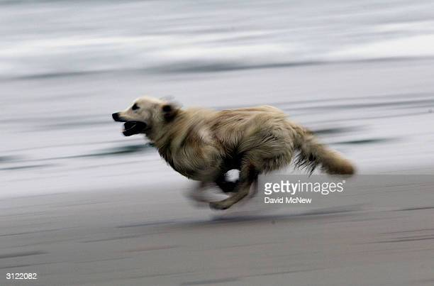 A dog runs along the water March 22 2004 in Solana Beach California Solana Beach was the first California city to ban smoking at the beach in...