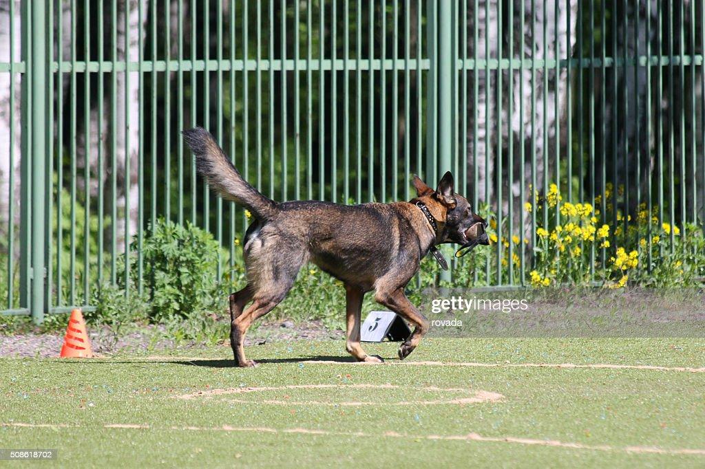 dog runs during training : Stock Photo