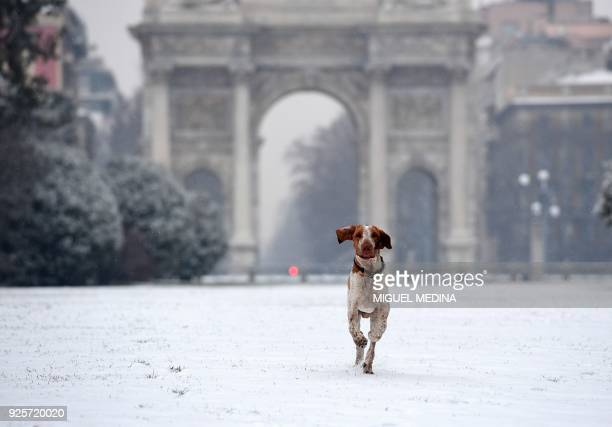 A dog runs in Sempione garden after snowfall in Milan on March 1 2018 Fresh heavy snowfalls and icy blizzards were expected to lash Europe on March 1...