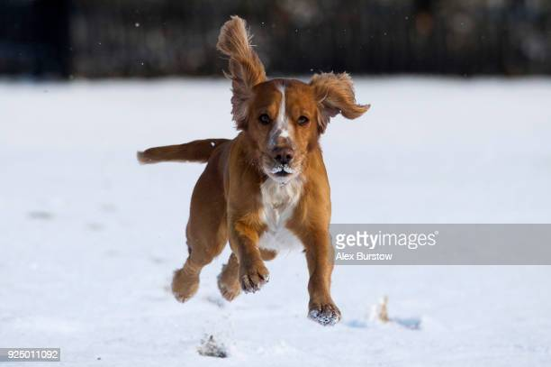 A dog runs in the snow at Horse Guard's Parade following a snow flurry on February 27 2018 in London United Kingdom Freezing weather conditions...
