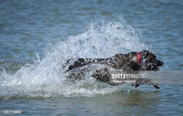 Dog runs into the sea on June 24, 2020 in Weymouth, United Kingdom. The UK is experiencing a summer heatwave, with temperatures in many parts of the...