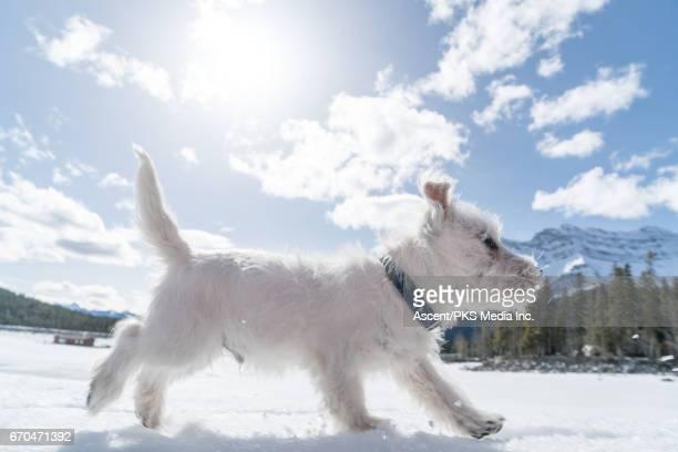Dog runs through snow, in snowy mountain setting