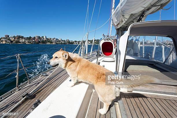 Dog sailing on Sydney Harbour