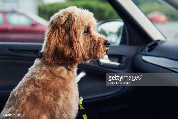 dog sat in a car - southport england stock pictures, royalty-free photos & images