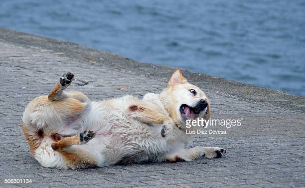 dog scratching - chinook dog stock photos and pictures
