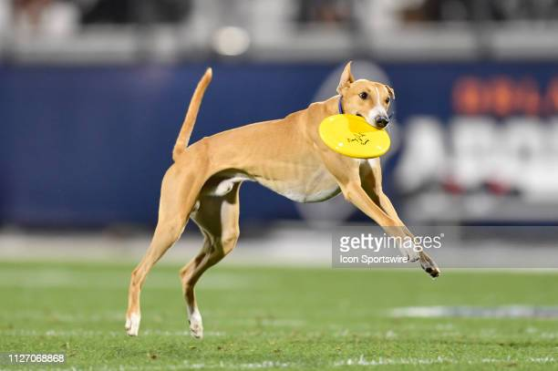 A dog sets a new record for longest frisbee catch in a sporting event event with an 83 yard catch during the halftime festivities of an AAF game...