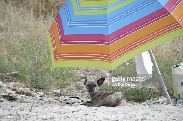dog shading from the sun - chinook dog stock photos and pictures