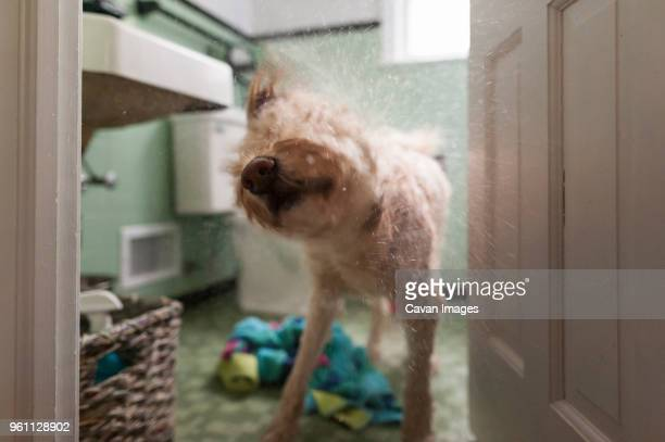 dog shaking hair while standing at doorway - bagnato foto e immagini stock