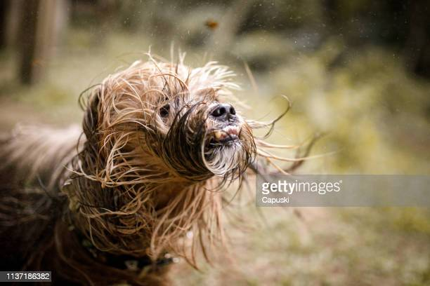 dog shaking his wet hair - ugly dog stock photos and pictures