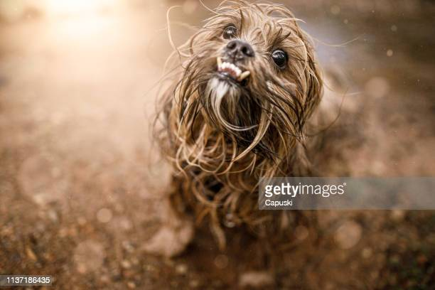dog shaking his wet hair - ugly dog stock pictures, royalty-free photos & images