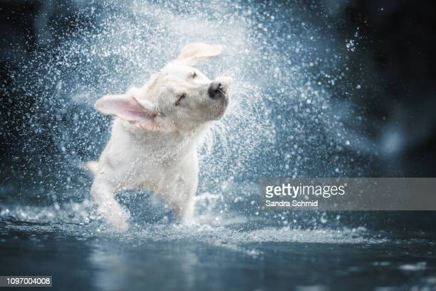 dog shaking in water - nass stock-fotos und bilder
