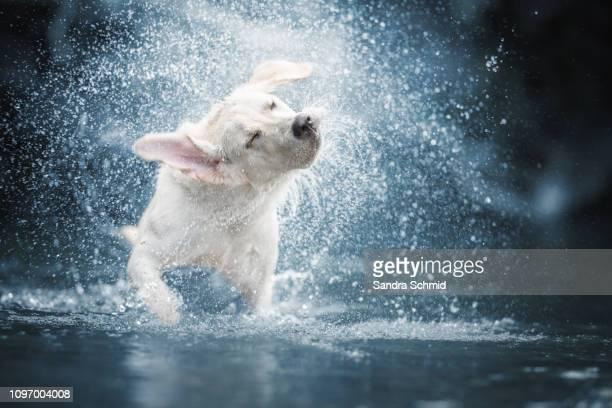 dog shaking in water - erfrischung stock-fotos und bilder