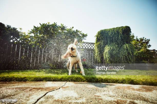 Dog shaking itself off after swimming in backyard pool on summer afternoon