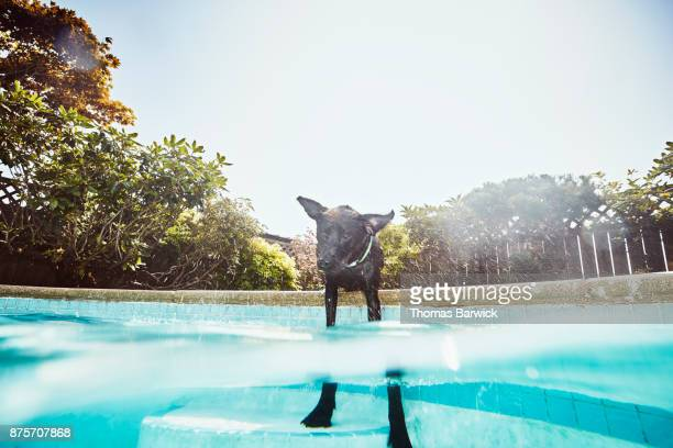 Dog shaking itself off while standing in backyard pool on summer afternoon