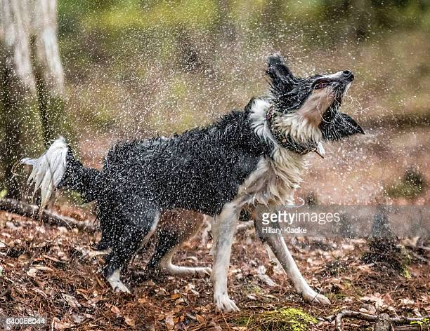 Dog shaking off water in forest