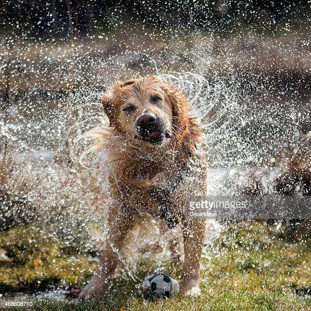 dog shaking off water - wet stock pictures, royalty-free photos & images