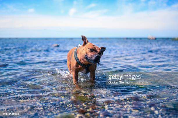 dog shaking water off - play off stock pictures, royalty-free photos & images