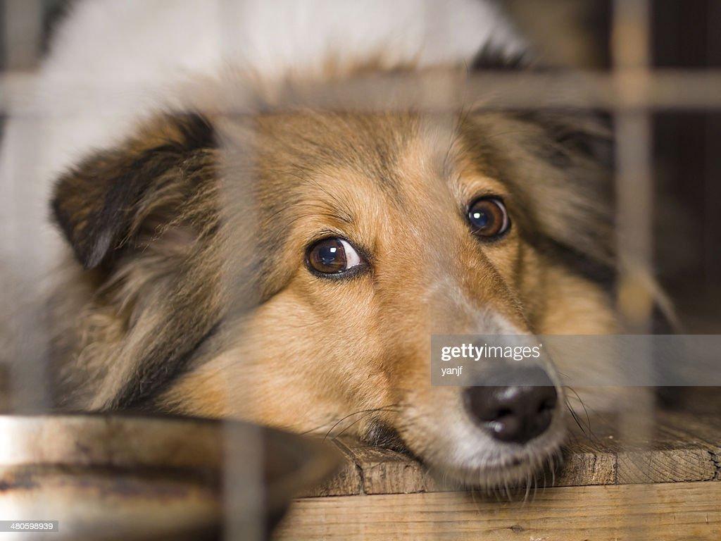 Dog, Shetland sheepdog in cage : Stock Photo