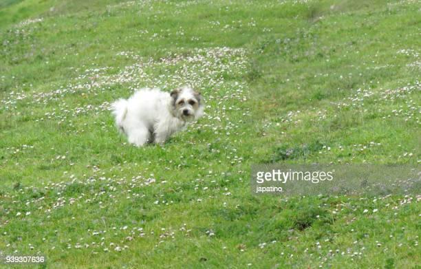 dog shitting in a public park - stuhlgang stock-fotos und bilder