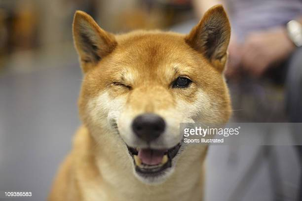 135th Westminster Kennel Club Dog Show Closeup of Shiba Inu Champion Taichung Kokoro of Niji also known as Mr Miyagi at Madison Square GardenNew York...