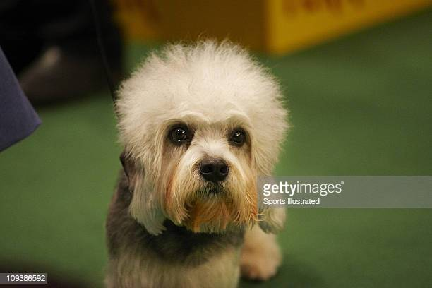 135th Westminster Kennel Club Dog Show: Dandie Dinmont Terrier Grand Champion Redclay Dreamboat Lieutenant Disher, also known as Disher, during Best...