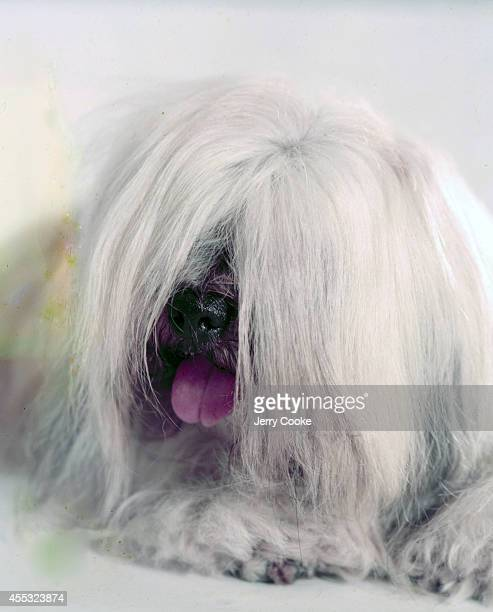 Closeup portrait of Hamilton Tatsienlu Lhasa Apso owned by C.S. Cutting of Gladstone, NJ who introduced the breed to America from Tibet. 7/15/1955...