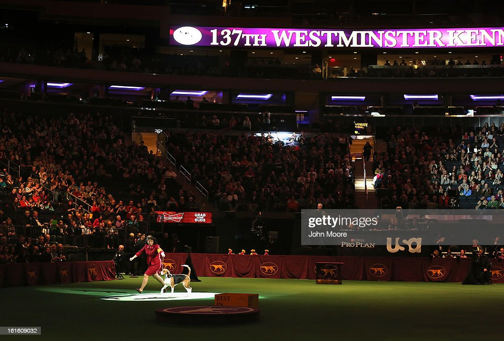 A dog show finalist runs through Madison Square Garden during the 137th Westminster Kennel Club Dog Show on February 12, 2013 in New York City. A total of 2,721 dogs from 187 breeds and varieties competed in the event, hailed by organizers as the second oldest sporting competition in America, after the Kentucky Derby.