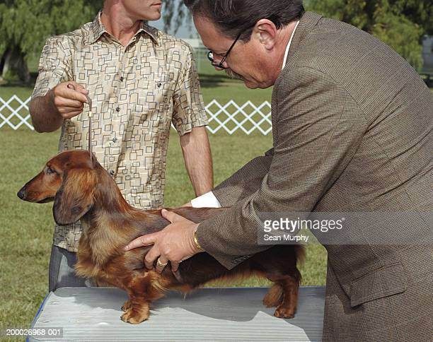 dog show judge examining dachshund - dog show stock pictures, royalty-free photos & images