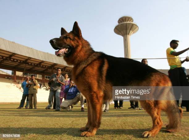 Dog Show Nero Vom Humburgar Land SCHH3 KK61 at the Indian Sieger Show organised by Mumbai Canine Club at Andheri Sports Complex on Saturday This was...
