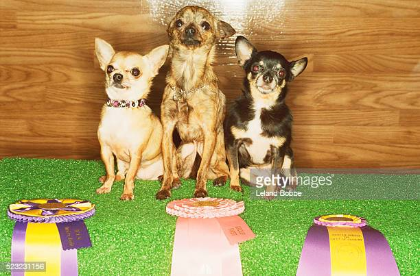 dog show winners - dog show stock pictures, royalty-free photos & images
