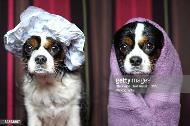 dog shower - spaniel - fotografias e filmes do acervo