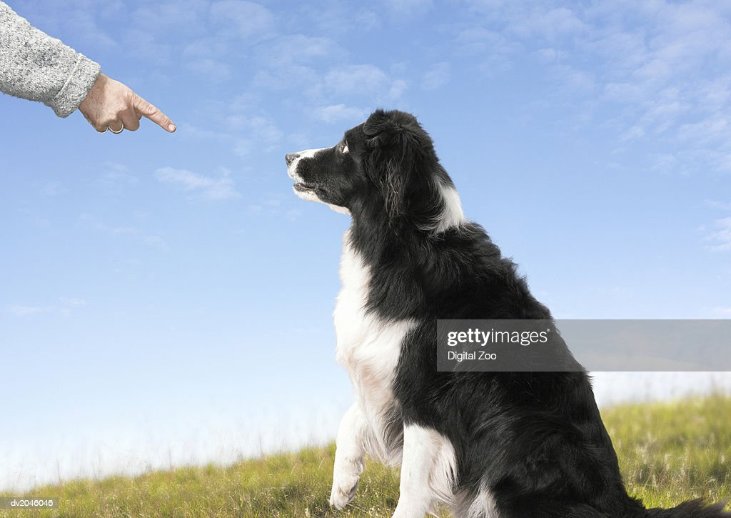 Dog Sits and Looks at a Finger Pointing at Him : Stock Photo