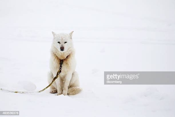 A dog sits at the Grand Hirafu resort operated by Tokyu Resort Service Co in Kutchan Hokkaido Japan on Saturday Feb 14 2015 Japan had a record number...