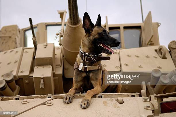 A dog sits atop U.S. Army tank.