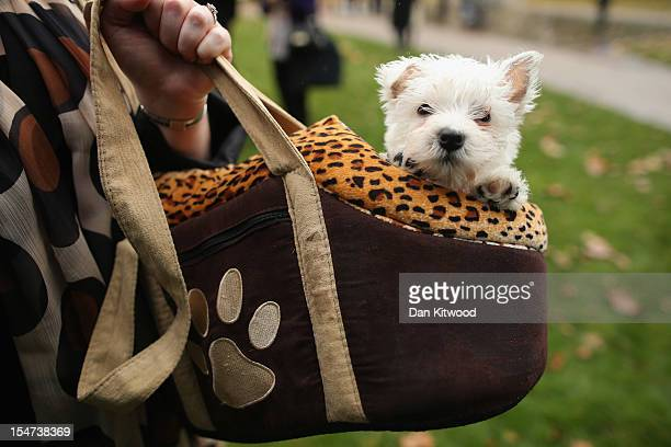 A dog sits in a womans handbag during the Westminster Dog of The Year competition in Victoria Tower Gardens on October 25 2012 in London England The...