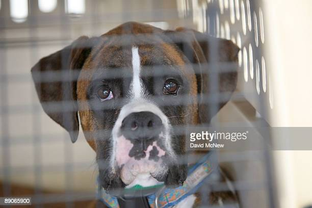 A dog sits in its crate before the southern California maiden voyage of Pet Airways on July 16 2009 in the Los Angelesarea city of Hawthorne...