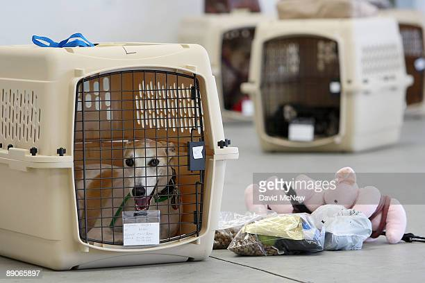 A dog sits in its crate near stuff toy pigs and pet food before the southern California maiden voyage of Pet Airways on July 16 2009 in the Los...
